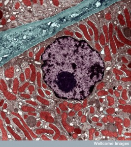 Kidney cell showing nucleus (purple) and mitochondria (red)Credit: University of Edinburgh. Wellcome Images.